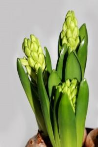 hyacinth-657492_1920