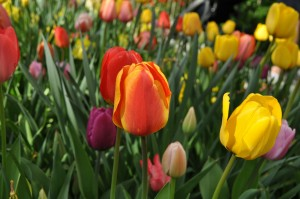 tulips-330202_1920