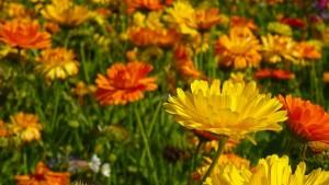 marigold-555811_640