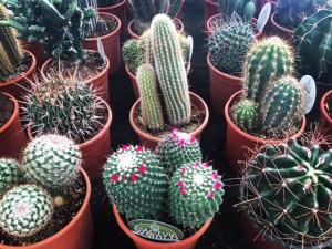 Cactus en floración