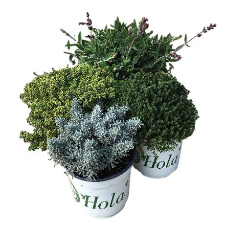 Planta aromática m- 13: 1, 95 €